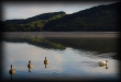 NZ East Cape - Lake Tutira Swans